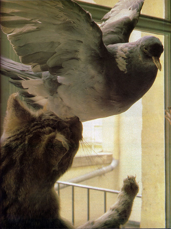 Deyrolle Taxidermy mount showing a cat attacking a pigeon