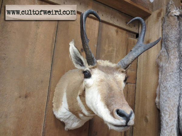Pronghorn antelope taxidermy mount for sale