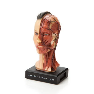 Mini female anatomical head from The Evolution Store