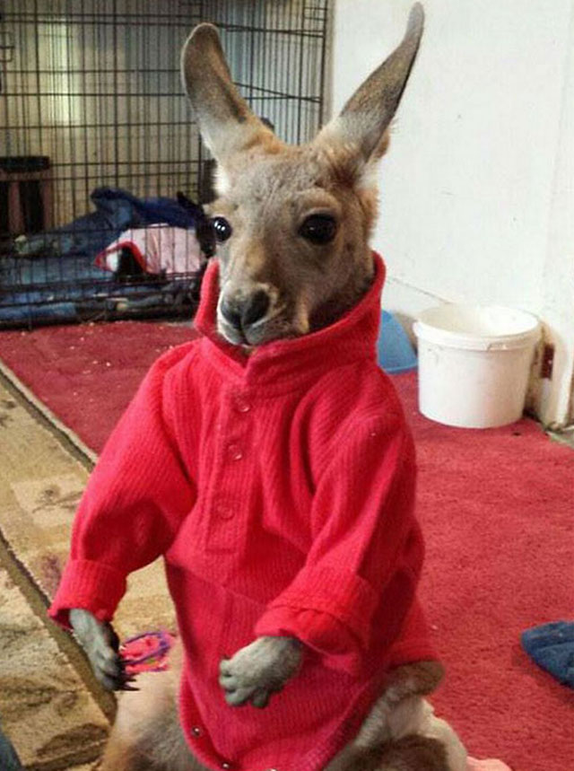 Kangaroos banned as service animals in Beaver Dam