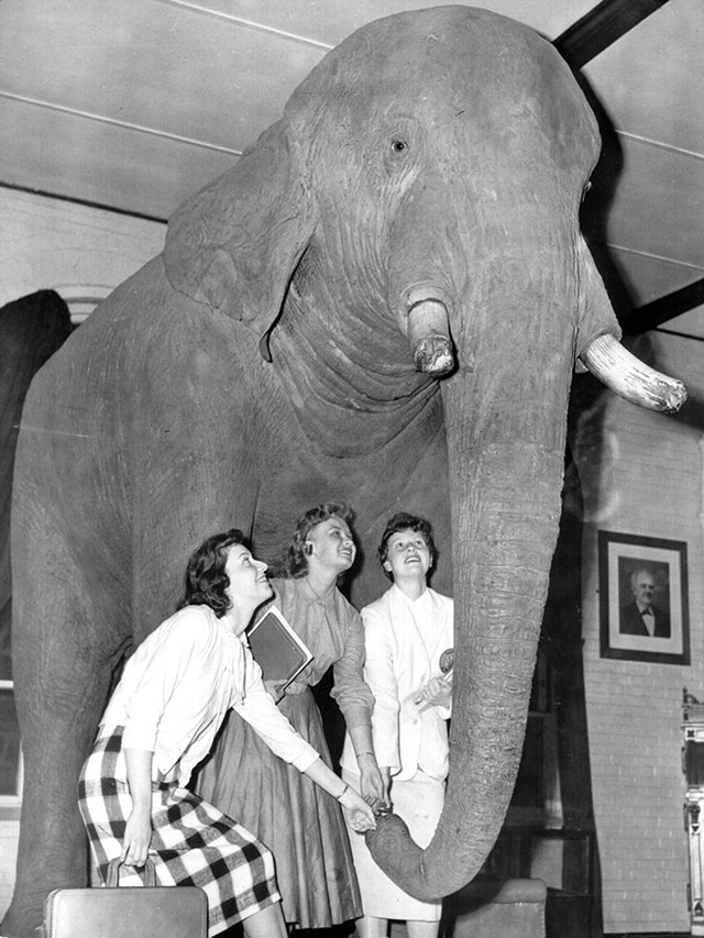 Jumbo the elephant taxidermy mount at Tufts University