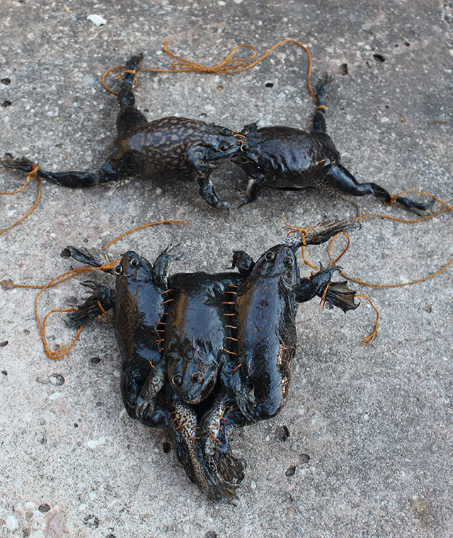 Taxidermy frogs made into a bikini